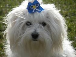 Exia, chien Bichon maltais