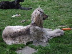 Blues, chien Lévrier afghan
