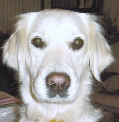 Sandra, chien Golden Retriever