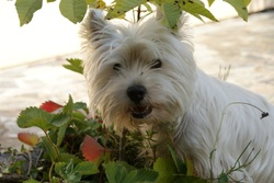 Crocus, chien West Highland White Terrier