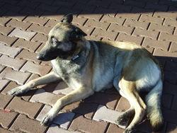 Chipie, chien Berger belge