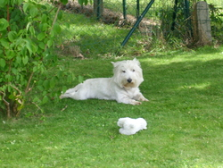 Oscar, chien West Highland White Terrier