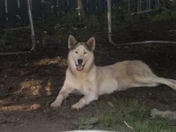 Nanuq, chien Husky sibérien