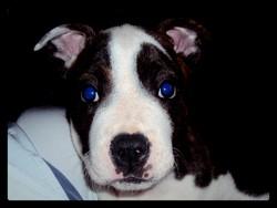 Pax, chien American Staffordshire Terrier