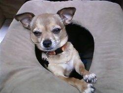 Leo, chien Chihuahua