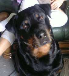 Leya, chien Rottweiler