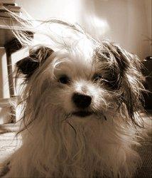 Dagobert, chien