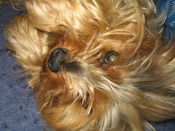 Charly, chien Yorkshire Terrier