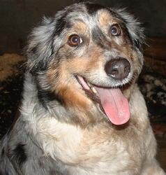 Suki, chien Berger australien