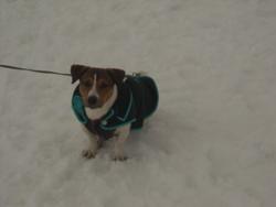 Eclypse, chien Jack Russell Terrier