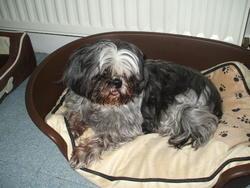 Bérénice, chien Shih Tzu