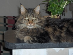 Scotty, chat Maine Coon
