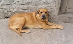 Dolores, chien Fila brasileiro
