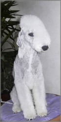 Diego, chien Bedlington Terrier