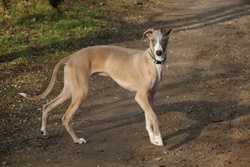 Edwin, chien Whippet