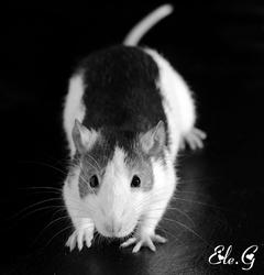 Lilou, rongeur Rat