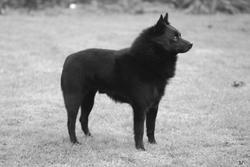 Amiral Du Roz De Kerhas, chien Schipperke