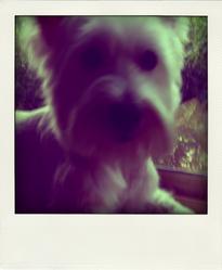 Chi-Chi, chien West Highland White Terrier