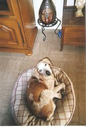 Amour, chien Beagle