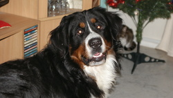 Newton, chien Bouvier bernois