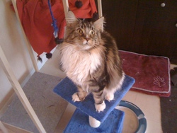 Diabolo, chat Maine Coon