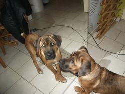 Adhèsse, chien Cane Corso