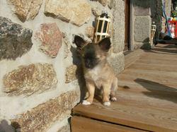 Élfie, chien Chihuahua