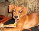 Chloé, chien Teckel