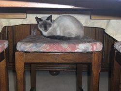 Chloé, chat Siamois