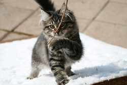 Eden, chat Sibérien