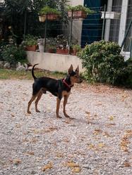 Dalton, chien Pinscher