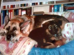 Oxane, chien Berger allemand
