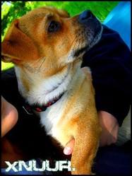 Tommy, chien Pékinois