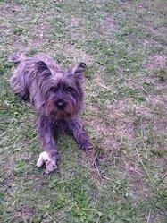 Diesel, chien Cairn Terrier