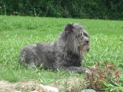 Magda, chien Berger des Pyrénées