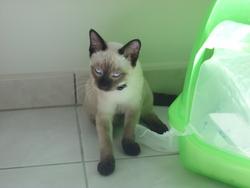 Yoko, chat Siamois