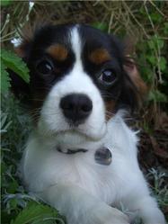 Earley, chien Cavalier King Charles Spaniel