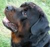 Vizir, chien Rottweiler