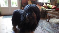 Scoop, chien Berger polonais de plaine