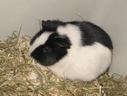 Peem's, rongeur Cochon d'Inde