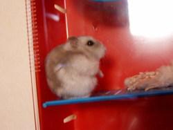 Cesar Mort, rongeur Hamster