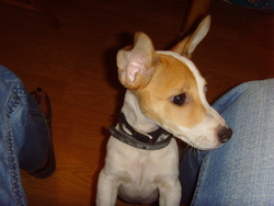 Punchy, chien Jack Russell Terrier