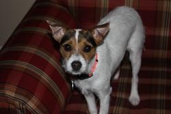 Lightning, chien Jack Russell Terrier