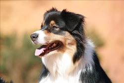 Doha, chien Berger australien