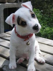 Funzy, chien Jack Russell Terrier