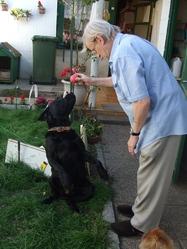 Black, chien Labrador Retriever