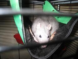 Poupe, rongeur Rat