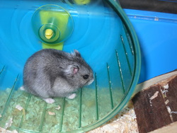 Softine, rongeur Hamster
