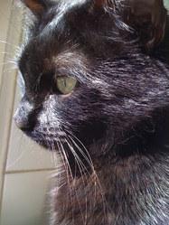 Leon, chat Européen