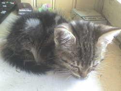 Tigroue, chat